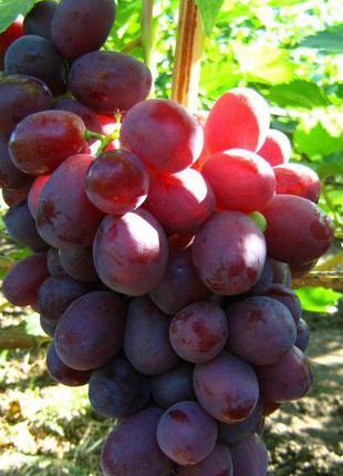 Саженцы винограда Ризамат