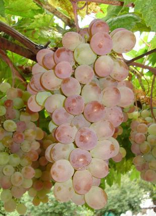 Саженцы винограда Фламинго