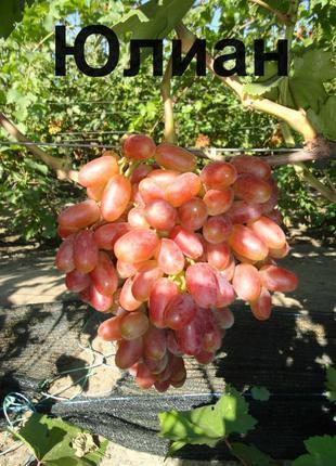 Саженцы винограда Юлиан