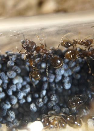 Messor structor  , формикарий , муравьи , муравьиная ферма + корм