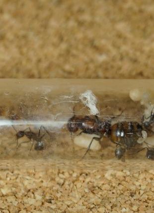 Camponotus nicobarensis , муравьи , муравьиная ферма