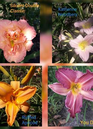 Набор цветов гибридных сортовых лилейников недорого