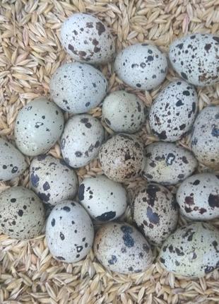 Продаю инкубационные яйца Техасского перепела.