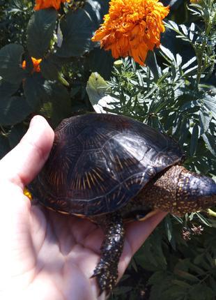 Черепаха 10-14см. Доставка по Украине