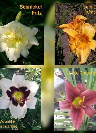 Цветы лилейники сортовые гибридные набор купить недорого