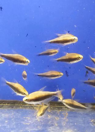 Аквариумная рыбка Королевская Тетра