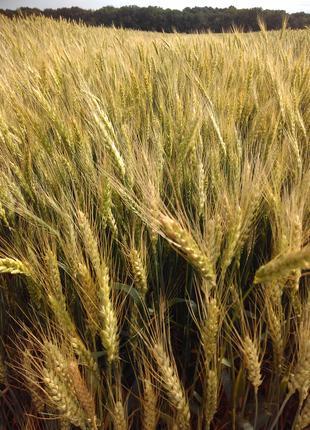 Лига Одесска озимая пшеница
