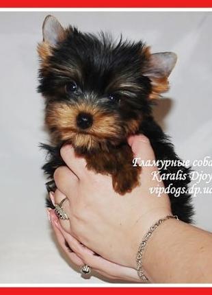 Купить чистокровного щенка йоркширского терьера. Международные...