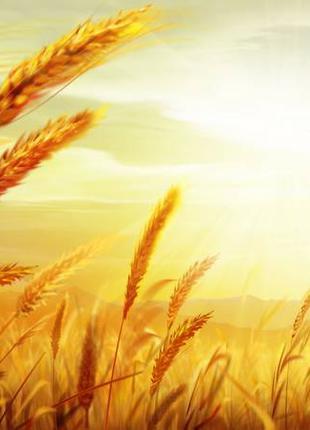 Ку плю зерно пшеницы, ячменя, овса, кукурузы