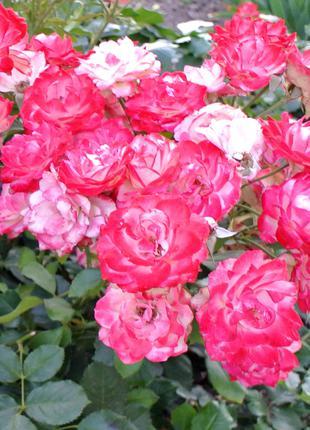 Роза белая с розовым