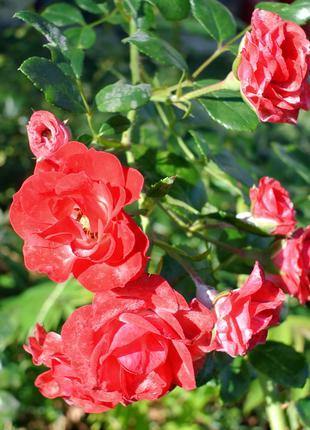 Роза вьющаяся красная