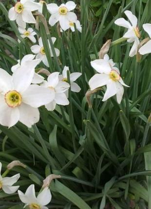 Нарцисс мелкокорончатый белый