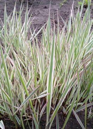 Фалярис (шелковая трава)
