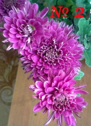 Хризантемы (маточник)