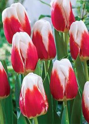 Луковицы тюльпанов на выгонку к 8 Марта