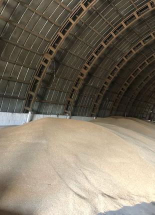 Пшеница на посев