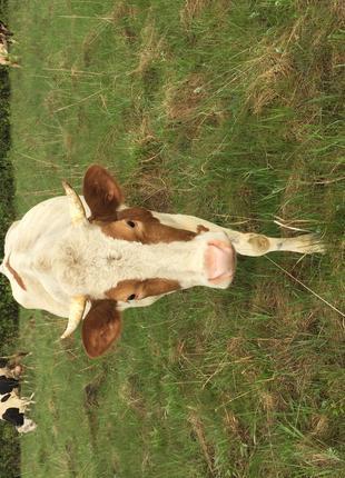 Продам корову!!!
