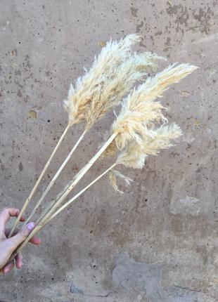 Пампасная трава 10шт камыш очерет сухоцвет pampas grass