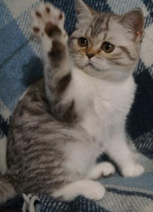 Курносый очаровательный котенок-девочка с whisas-шубке оттенка ка