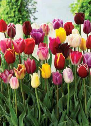 Цибулини тюльпана
