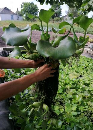 Плавающие растения для пруда и аквариума:водный гиацинт и пистия