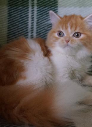Огненно-рыжий длинношерстный курносый шотландский котенок, очень