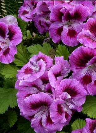 Коллекция. Пеларгония. Герань. (Pelargonium).