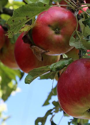 Саженцы яблони Айдарет