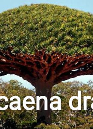 Семена драцены - драконового дерева