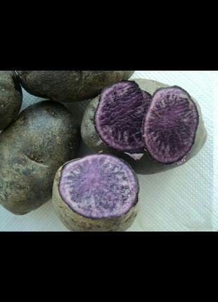 Картопля Солоха