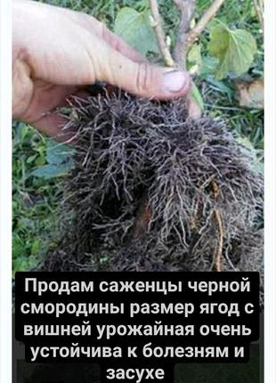 Продам саженцы черной смородины размер ягод с вишней