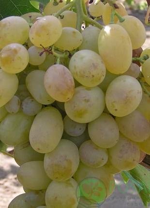 Продам саженцы Винограда: Подарок Запорожью, Молдова, Саперави...