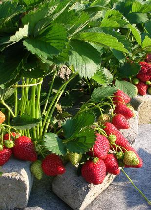Россада полуниці