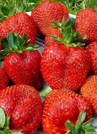 Россада полуниці 13 сортів