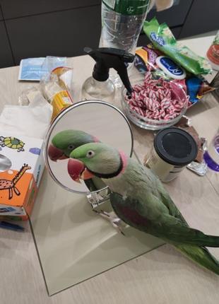 Александрийский попугай (говорящий ,5 лет отроду) вместе с вольер