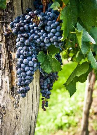 Виноград сорта «Мерло»