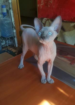 Продам породистого котёнка Канадский сфинкс, окрас крем-поинт.