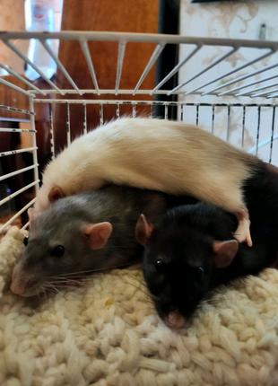 Милые крыски с  трехэтажной клеткой