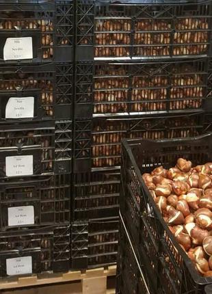Продаю луковицы и черенки цветов с Нидерландов.