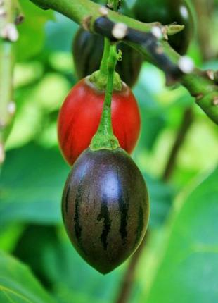 Тамарилло-томатное дерево саженцы 25-40см