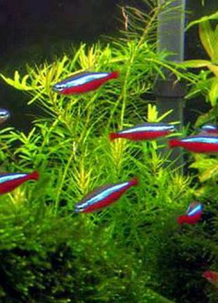 Неон червоний рибка акваріумна