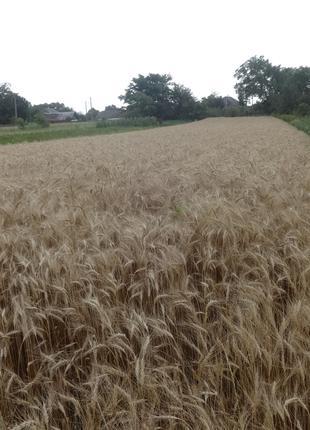Зерно: пшеницы, ячменя, овса.