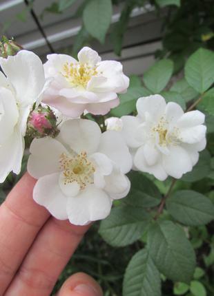 Троянди (роза) виткі