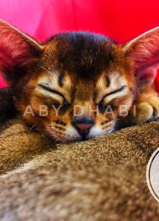 Продажа абиссинских котят выставочного класса (Питомник ABY Dh...