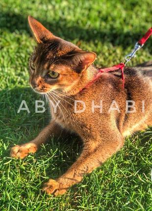 Абиссинские котята ABY Dhabi