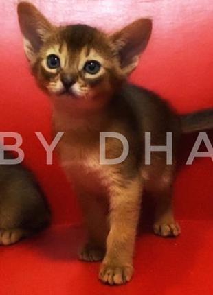 Абиссинские котята (Питомник ABY Dhabi)