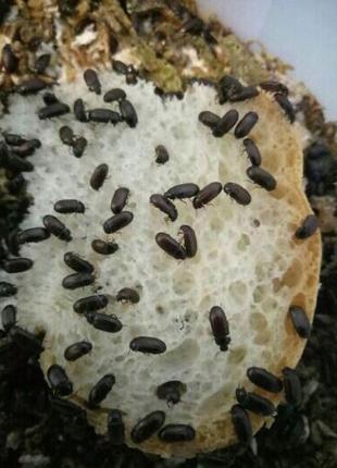 жук-знахарь, чернотелка, жук знахарь