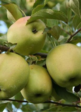 Саженцы яблони в ассортименте