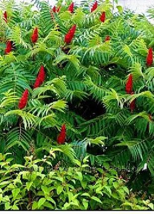 Уксусное дерево сумах оленерогий, саженцы, купить, Украина