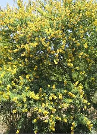 Акация желтая куст карагана древовидная  саженцы купить украина